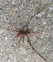 Unknown Bug Please help - Diestrammena asynamora - female