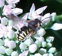 wasp mimic? - Anthidium oblongatum
