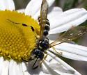 Bee or wasp - Cerceris
