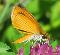Least Skipper - Ancyloxypha numitor