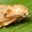 Orange & White Moth - Archips xylosteana