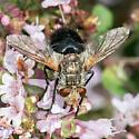 Dipteran - Archytas - male
