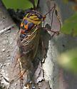 Dog-days cicada - Neotibicen pronotalis