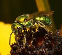 Halictidae - Augochlorella