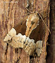 Unknown Moth - Hypena bijugalis - female