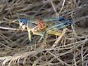 Tyger's Blue Plains Lubber Grasshopper - Brachystola magna - male