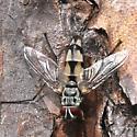 fly - Zelia - male