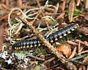 Millipede - Polydesmida Xystodesmidae  - Harpaphe haydeniana