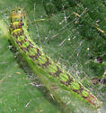 Arched Hooktip caterpillar? - Oreana unicolorella