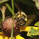Megachilidae, frontal - Megachile latimanus