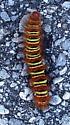 Echo Moth Caterpillar - Seirarctia echo