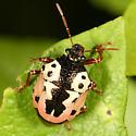 Stink Bug - Stiretrus anchorago