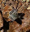 Checkered Skipper - Pyrgus philetas