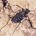 Tiger Beetle 101115 - Cicindela duodecimguttata