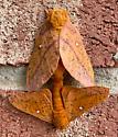 ?Oak worms mating - Anisota stigma - male - female