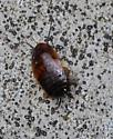 Bug in basement - Parcoblatta