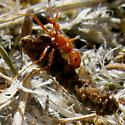 Heavy lifter at work - reddish double-humped ant with blackish gaster - Pogonomyrmex californicus - female