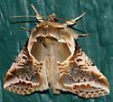 Moth Stanwood WA - Habrosyne scripta