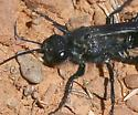 spider wasp ? black