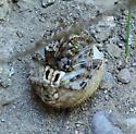 Arizona Spider - Araneus - Araneus illaudatus