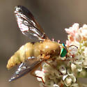 Another Pegasomyia? - Pegasomyia