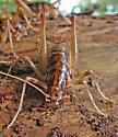 Black and tan cricket under tree bark - Ceuthophilus - female
