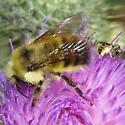 Small Wasp - Bombus flavifrons