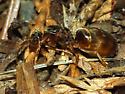 Ant - Lasius neoniger - female