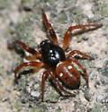 Spider (unknown family) - Cyclosa turbinata - male