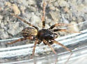 spider022018 - Allocosa