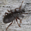 Weevil IMG_1946 - Otiorhynchus ligneus