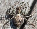 spider - Oxyopes scalaris