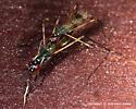 Stilt-Legged Flies Mating - Rainieria antennaepes - male - female