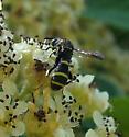 Leucospis affinis? - Leucospis - male