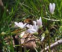 Bee fly? - Bombylius major