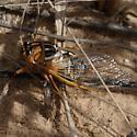 Megatibicen harenosus