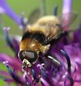 Narcissus Bulb Fly (Merodon equestris) - Merodon equestris - male