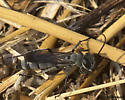 Gray and Black Spider Wasp - Aporinellus