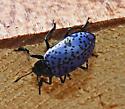 Blue beetle - Gibbifer californicus