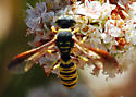 Dilley Wasps & Bees for IDs #5 - Eucerceris provancheri