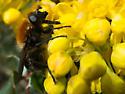 Bumblebee - Brachypalpus alopex