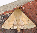 Moth to porch light - Helicoverpa zea