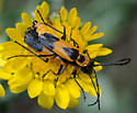 Chauliognathus basalis? - Chauliognathus basalis - male - female