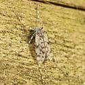 Spotty midge - Ablabesmyia - female