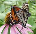 Monarchs - Danaus plexippus - male - female