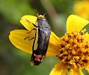 bug - Acmaeodera flavomarginata