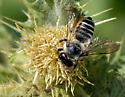 Megachile perihirta ? - Megachile - female
