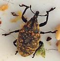 Canada Thistle Bud Weevil? - Larinus turbinatus