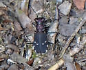 Tiger Beetle - Cicindelidia rufiventris