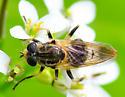 bee mimic fly - Blera pictipes - female